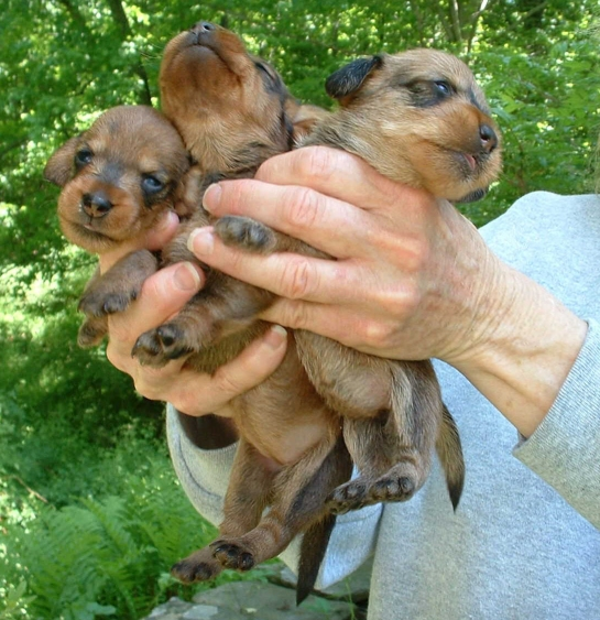 Miniature Dachshunds Breeder Dachshund Puppies Miniature Wirehair ...